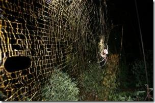 giant golden orb-web exceeding 1 meter in diameter