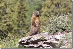 This is a yearling yellow-bellied marmot. (Credit: Arpat Ozgul)