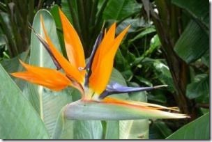 Bilirubin has been discovered in the beautiful and iconic Bird of Paradise flower. (Credit: Photo by David Lee)