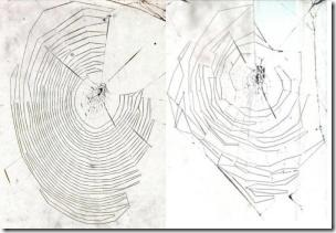 The left web was woven by a 17-day old spider and the right web was woven by a spider that was 188 days old.