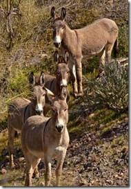 A small herd of wild donkeys. (Credit: iStockphoto)