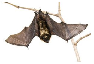 Bats emit their echolocation calls at ultrasonic frequencies in order to get echoes from small insects.