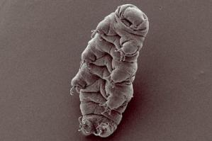 Water bear (tardigrade), Hypsibius dujardini, scanning electron micrograph by Bob Goldstein, http://tardigrades.bio.unc.edu/ (Credit: Image courtesy of Wikimedia Commons)